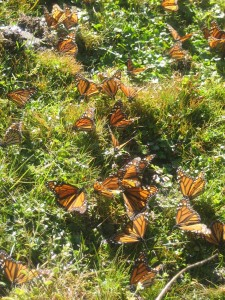 Monarchs enjoying a sunny Mexican winter day