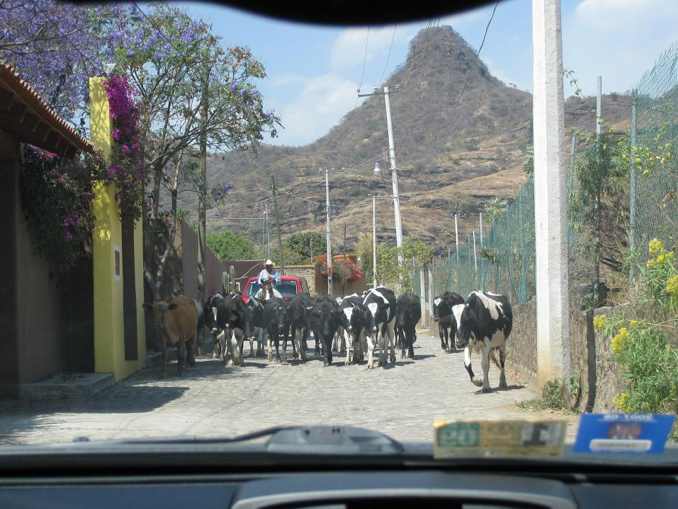 To tie back in to my previous post, this was pretty much the most danger we came across during our trip to Malinalco, Mexico. Who knows-- these cows could well have been drug mules in disguise... making off with pounds of cocaine in their multiple stomachs...???