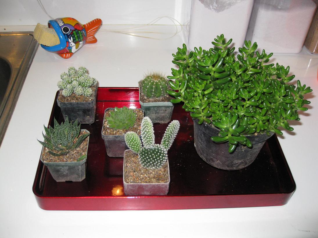 ...and instead purchased these little friends, who have yet to find a home outside of their plastic houses. I love the Mickey-ears cactus. BTW, I will accept wages on how long it will take me to kill one of these.